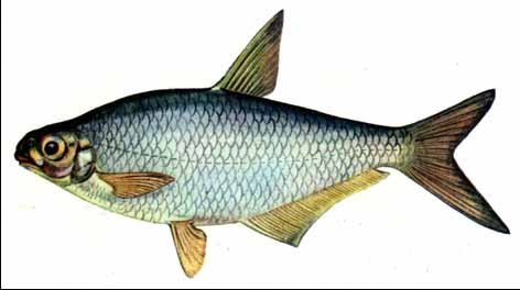 http://fishing.org.ua/riby/sab/sin01_01.jpg